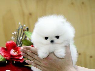Pomeranian Szczenieta Mini Za Darmo